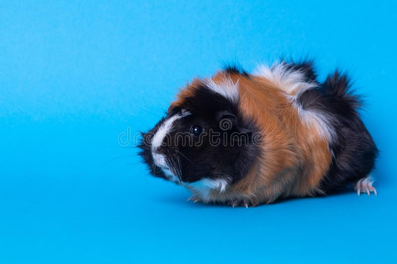 Female guinea pig, sitting, view in profile, on blue background. Close up stock image