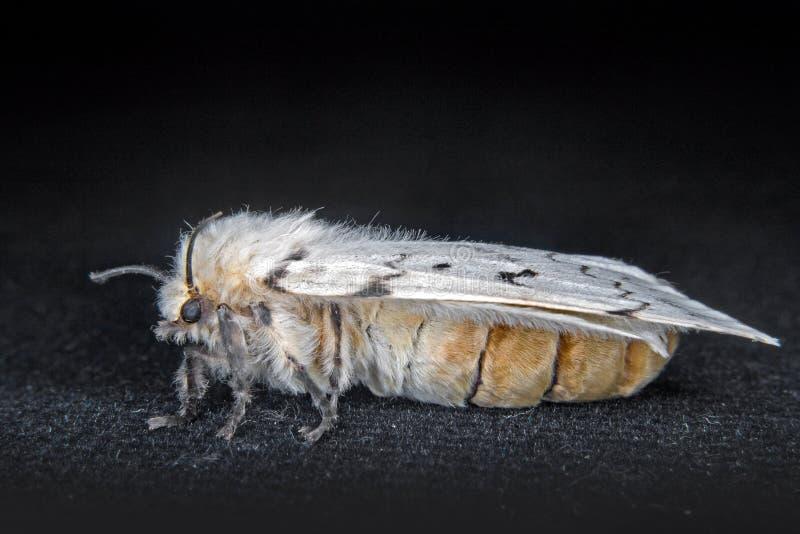 A Female Gypsy Moth Royalty Free Stock Photos
