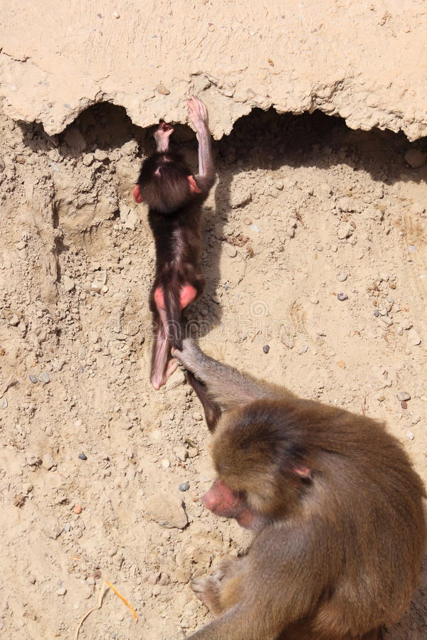 Female hamadryas baboon and baby stock images