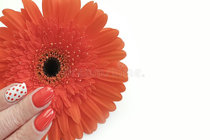 Female hand beautiful manicure elegance gerbera flower royalty free stock images