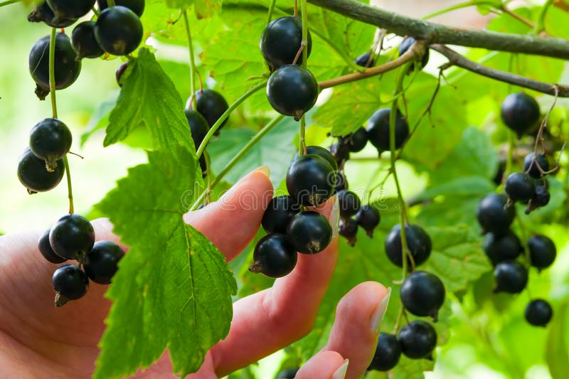 Female hand breaks a ripe black currant berries from the Bush, royalty free stock image