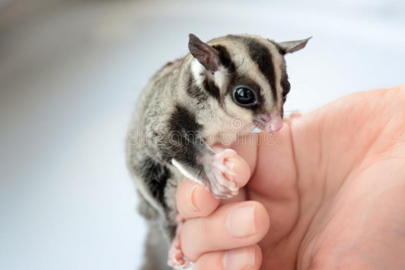 Female hand with cute sugar glider royalty free stock photos