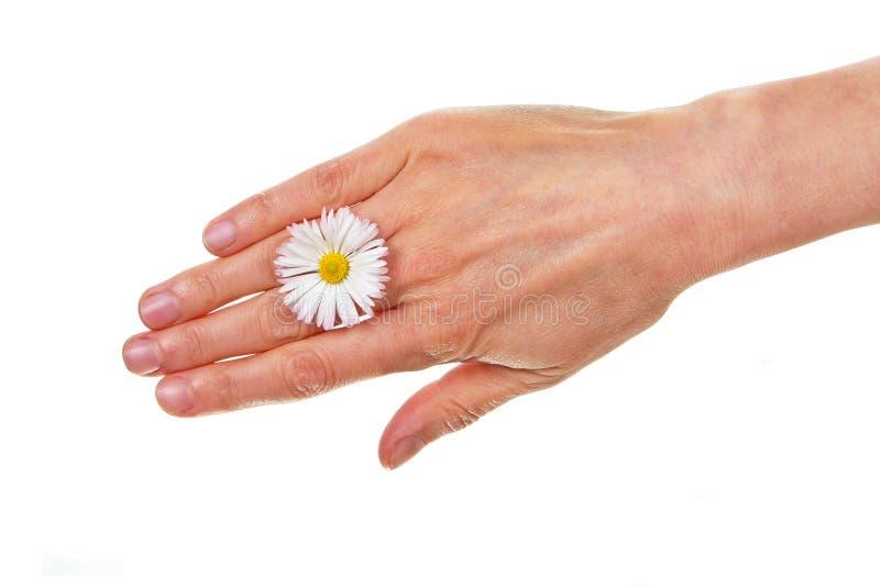 Female Hand With Daisy Blossom Isolated Royalty Free Stock Photo