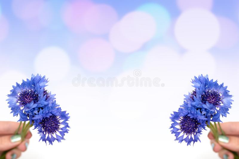 Female hand hold pink flowers on blue gradient background.  royalty free stock image