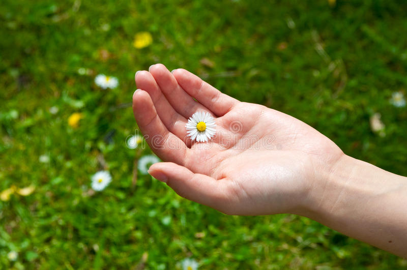 Download Female Hand Holding Camomile Stock Photo - Image: 14853730