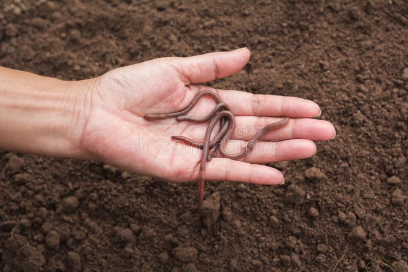 Female hand holding earth worms in hands. stock images