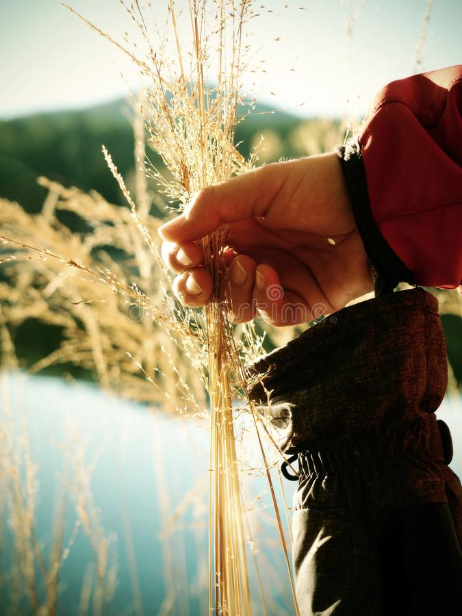 Female hand holding golden stalks  and seeds of wild grass. Female hand holding a golden stalks  and seeds of wild long grass white view sunny sunlight straw stock images