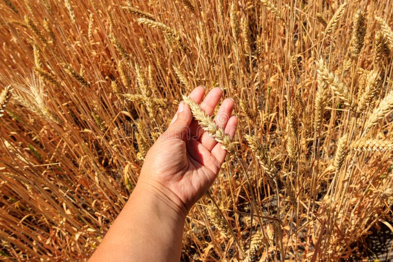 Female hand holding ripe ears of wheat in wheat field. Harvest. Agricultural concept stock photos