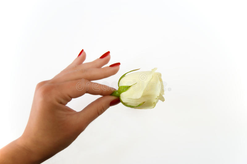 Female hand holding rose on a white background stock photos