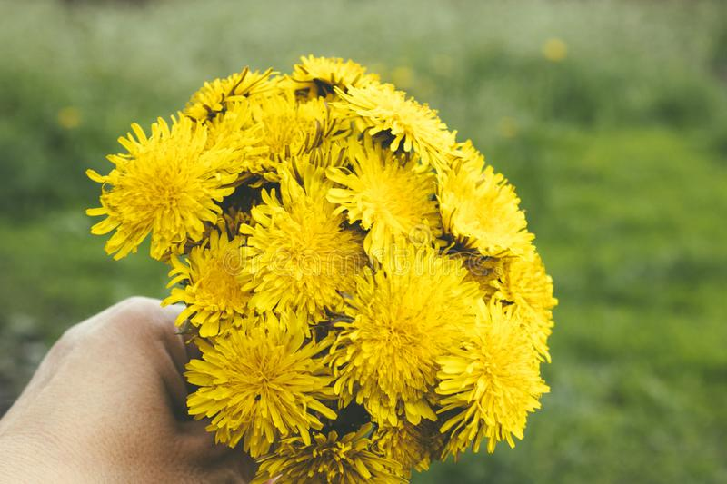 Female hand holding a small bouquet of yellow dandelion bouquet flowers. Close-up stock photography