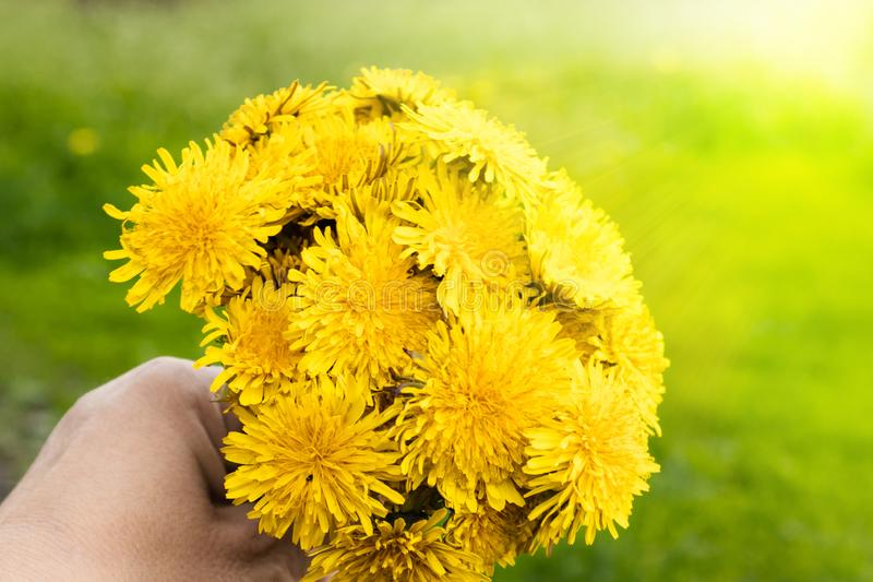 Female hand holding a small bouquet of yellow dandelion bouquet flowers. Close-up royalty free stock photography
