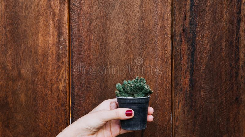 Female hand holding a small cactus isolated wooden baground royalty free stock photo