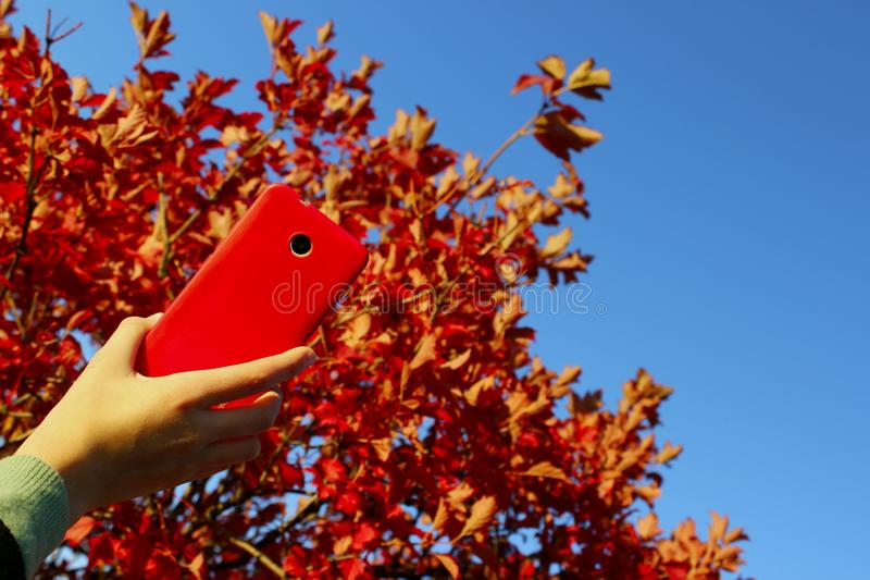 Female hand holding smartphone over red tree and blue sky background. Abstract nature background. stock photo