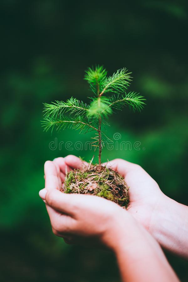Female hand holding sprout wilde pine tree in nature green forest. Earth Day save environment concept. Growing seedling. Forester planting stock photos