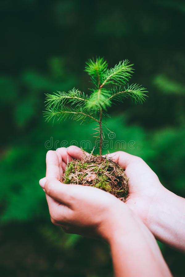 Female hand holding sprout wilde pine tree in nature green forest. Earth Day save environment concept. Growing seedling stock photo