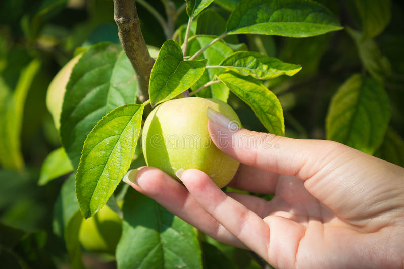 Female hand holding unripe apple royalty free stock images