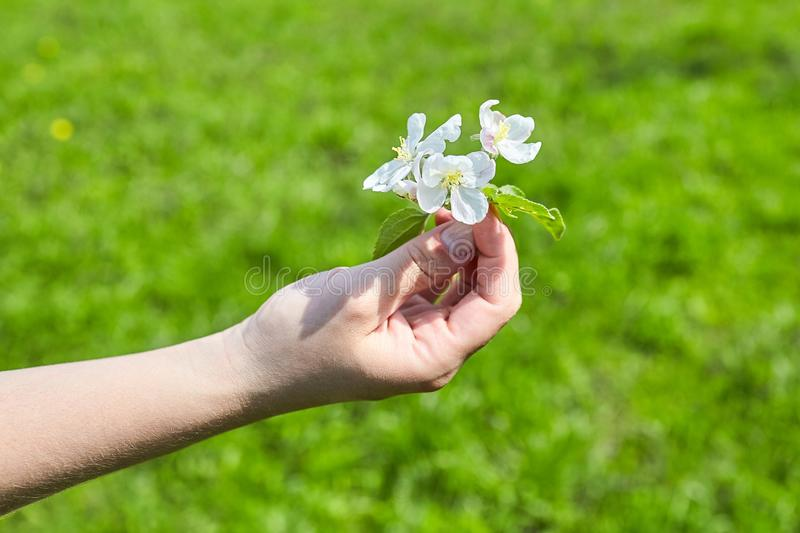 Female hand holding a white apple tree flower. Selective focus stock photo