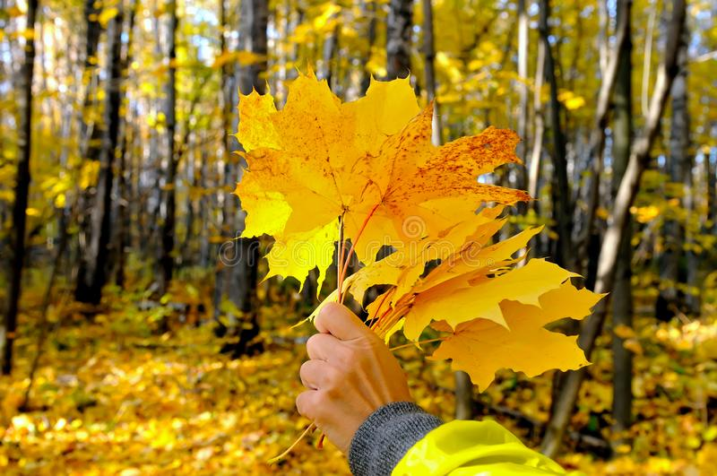 Female hand holds a bouquet of yellow autumn maple leaves stock image