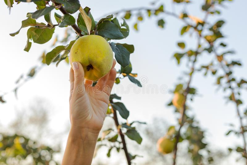 Female hand holds Fresh juicy tasty ripe quince fruit on branch of apple quince fruits tree in orchard for food or juice,. Harvesting. Crop of quince in summer stock images