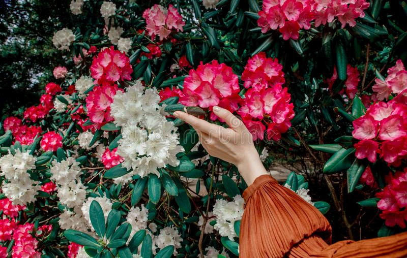 Female hand moves along the flowers. On the bush royalty free stock photo