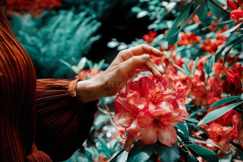 Female hand moves along the flowers. On the bush stock image