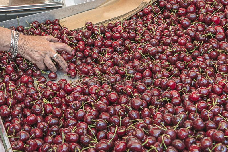 Female hand picks a handful of fresh cherries stock images