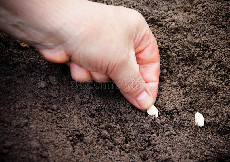 Female hand planting zucchini seed in soil. Selective focus. Female hand planting small zucchini seed in soil. Selective focus royalty free stock photos