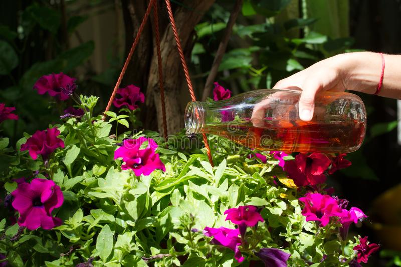 Female hand pours petunias in a pot with fertilizer prepared at home. Organic liquid fertilizer. Nutrition of indoor stock photos