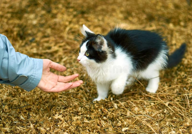 Female hand reaching for the paw of a cute black and white cat on the farm royalty free stock image