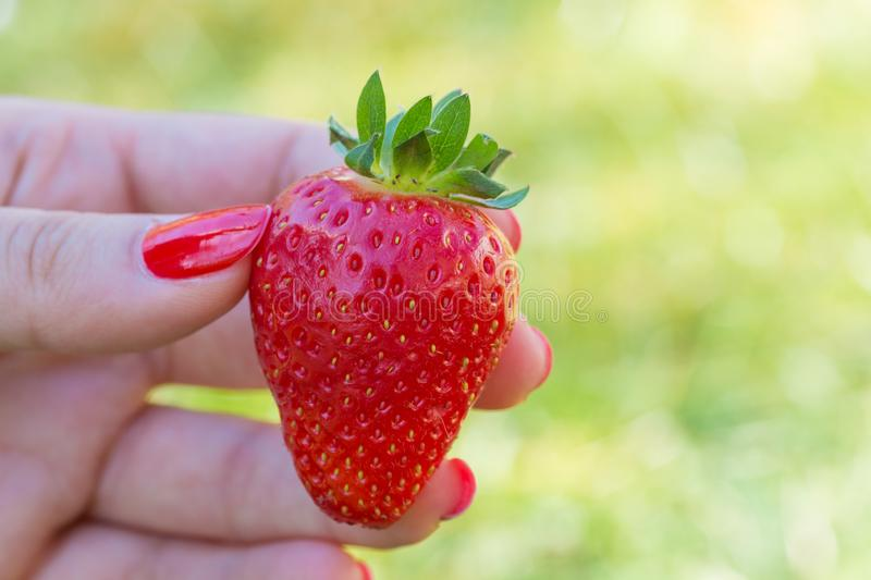 Female hand with red painted nails holding one strawberry stock image