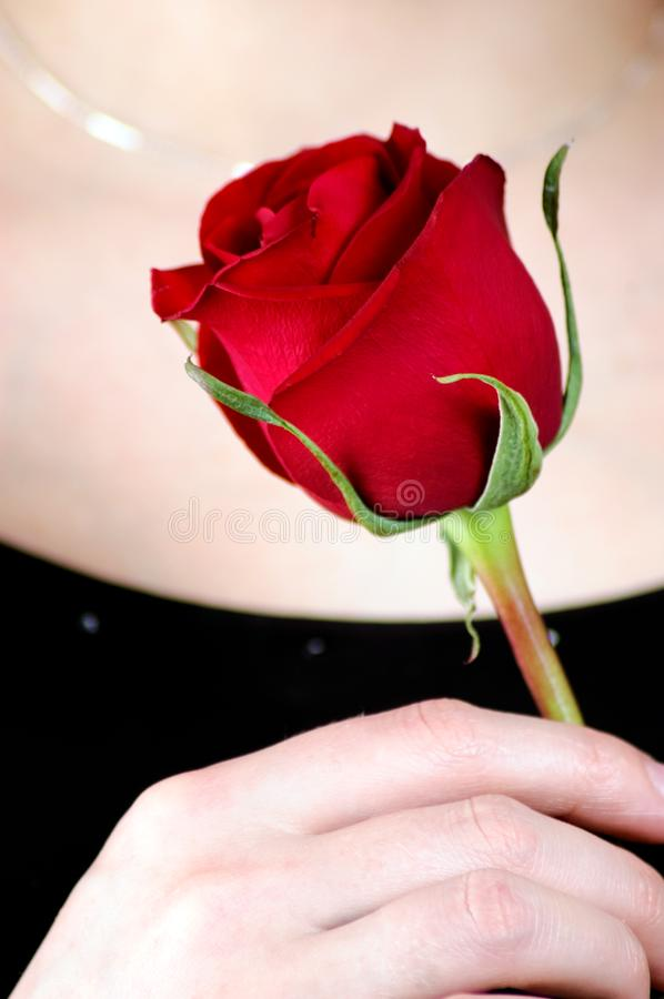 Female hand with red rose royalty free stock images