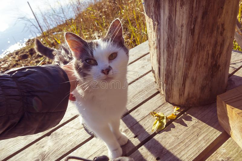 Female hand strokes a cat on a wooden pier on the lake royalty free stock photos