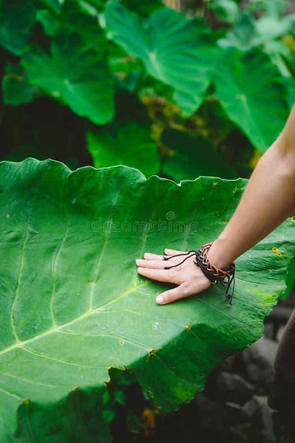 Female hand stroking touching huge lotus leaf stock image