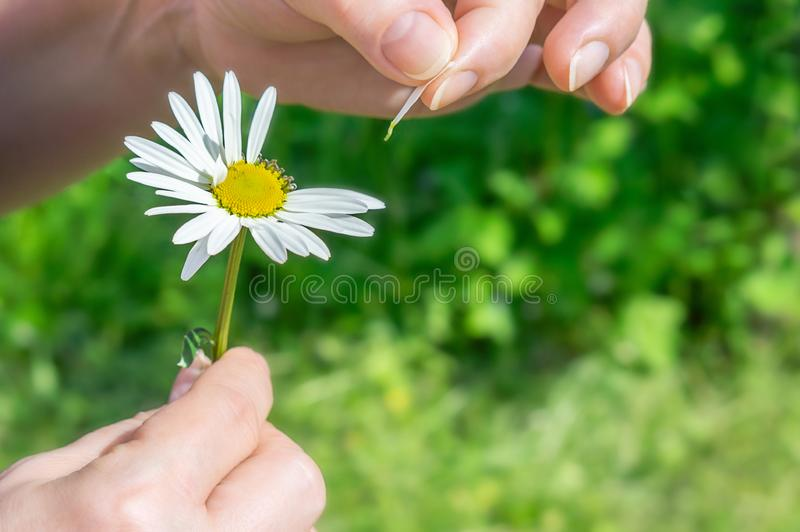 Chamomile and petals. Female hand tears off chamomile petals royalty free stock images