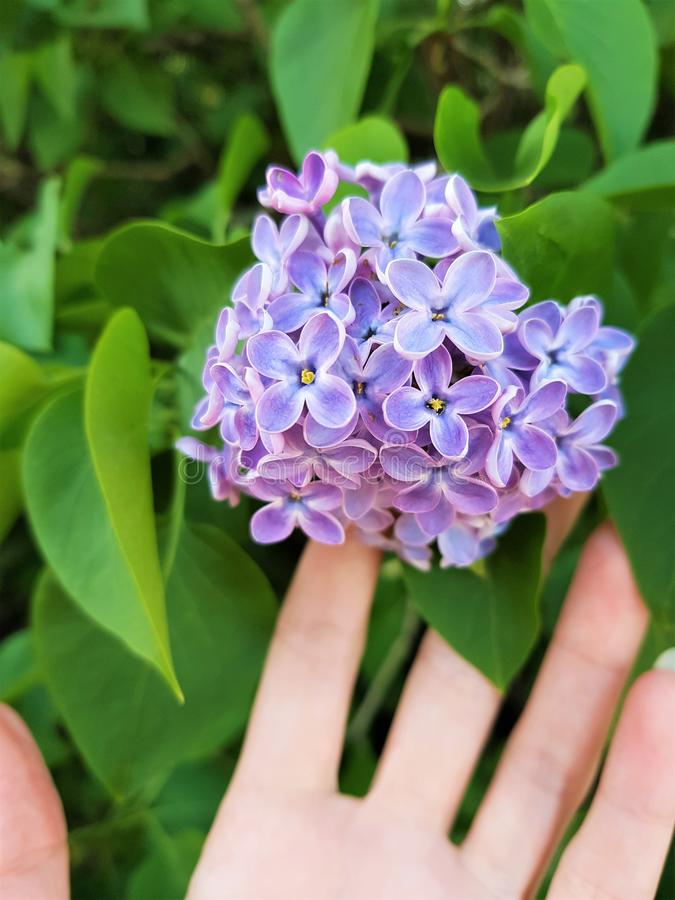 Female hand touches beautiful small flowers of lilac tree in spring garden stock photography