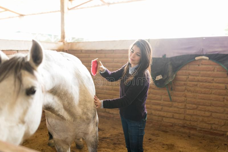 Woman Enhancing Physical Appearance Of Horse. Female handler grooming horse to check general health and wellbeing in stable stock photos