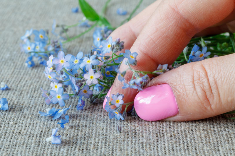 Female hands carefully hold a Forget-me-nots Myosotis flowers royalty free stock image