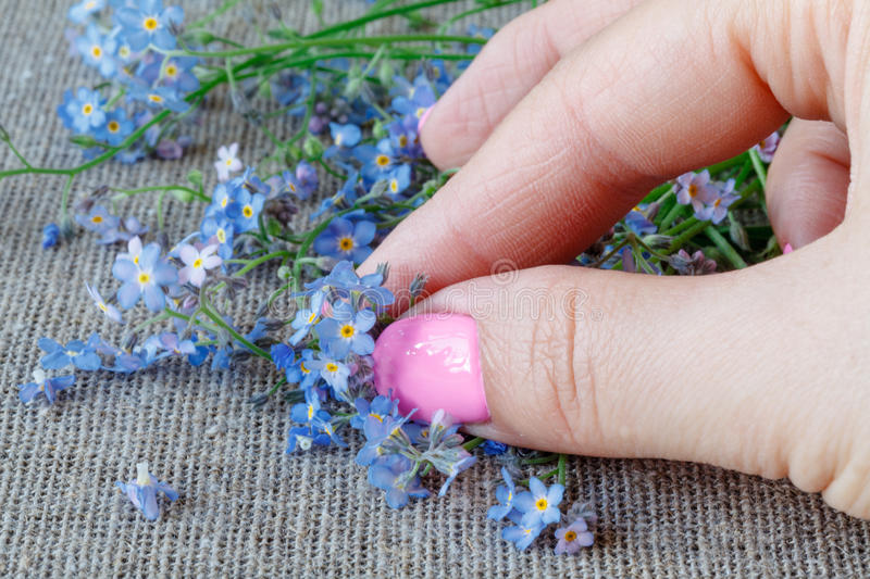 Female hands carefully hold a Forget-me-nots Myosotis flowers stock photos