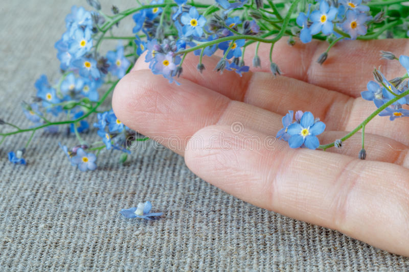 Female hands carefully hold a Forget-me-nots Myosotis flowers royalty free stock images