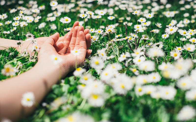 Female hands and flowers for relax concept. Relax and leisure concept. Woman relaxing lying on spring flowers and grass. Female hands and delicate daisies stock photo