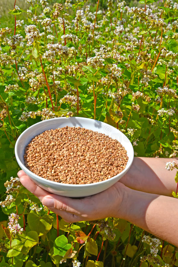 Female hands hold a bowl with buckwheat against the background o of the blossoming buckwheat of a sowing campaign Fagopyrum escu stock photo