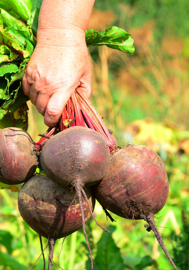 Female hands hold a bunch of beets royalty free stock photos