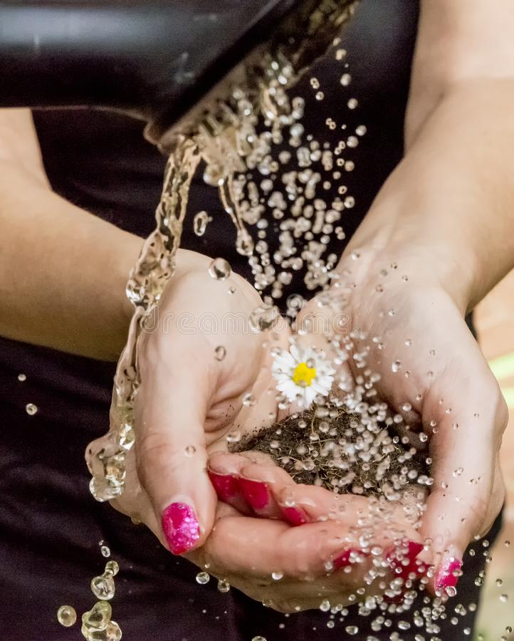 Female hands hold a daisy planted in a clod of earth, while it is watered royalty free stock image