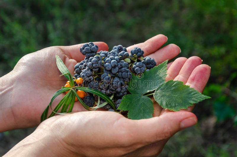 Female hands hold ripe wild blackberry berries, leaf and a sprig of orange sea buckthorn. Outdoors stock photos