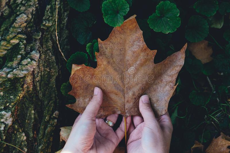 Female hands holding a fallen autumn leaf, contrasting with the green plants beneath it and the woody texture. stock image