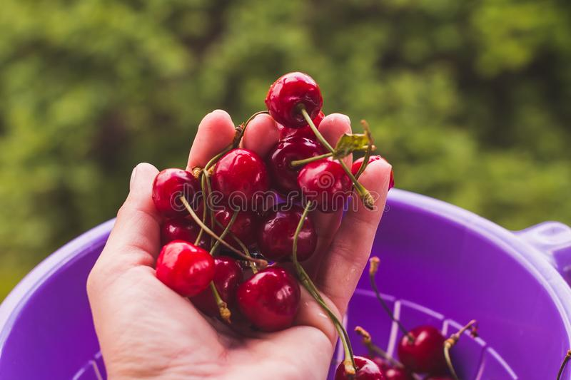 Female hand holding fresh sour cherries. Juicy cherries.ripe sweet cherry stock image