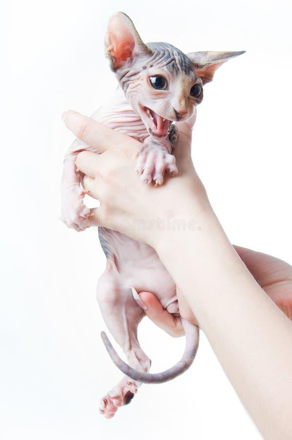 Female hands holding scared sphinx kitten stock photos