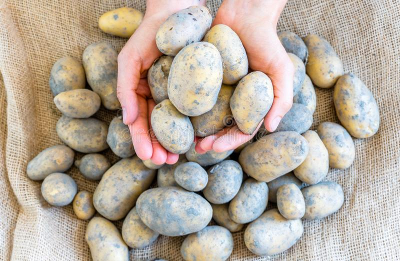 Female hands holding a selection of fresh unwashed organic potatoes royalty free stock photos