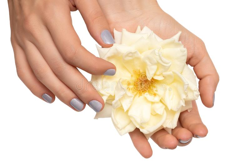 Female hands holding a white rose on white background.  stock photography