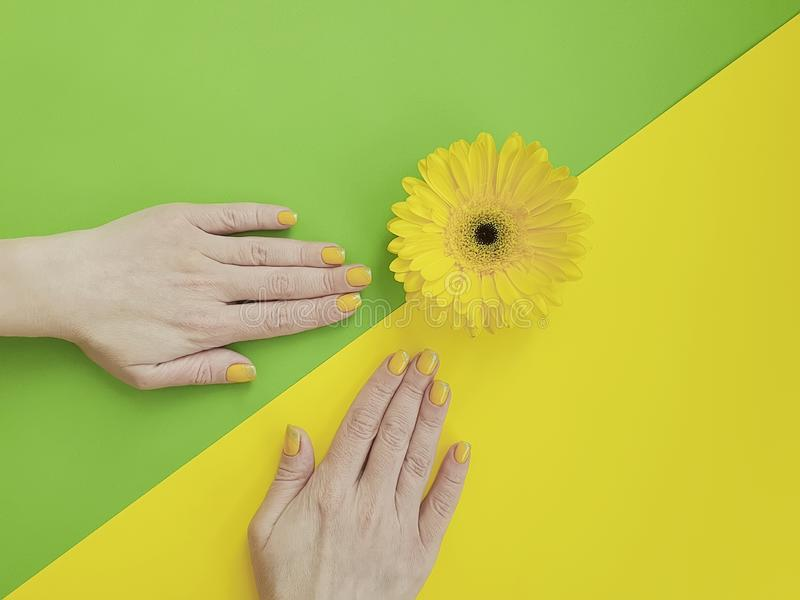 Female hands manicure  delicacy  gerbera flower on a colored background royalty free stock photography